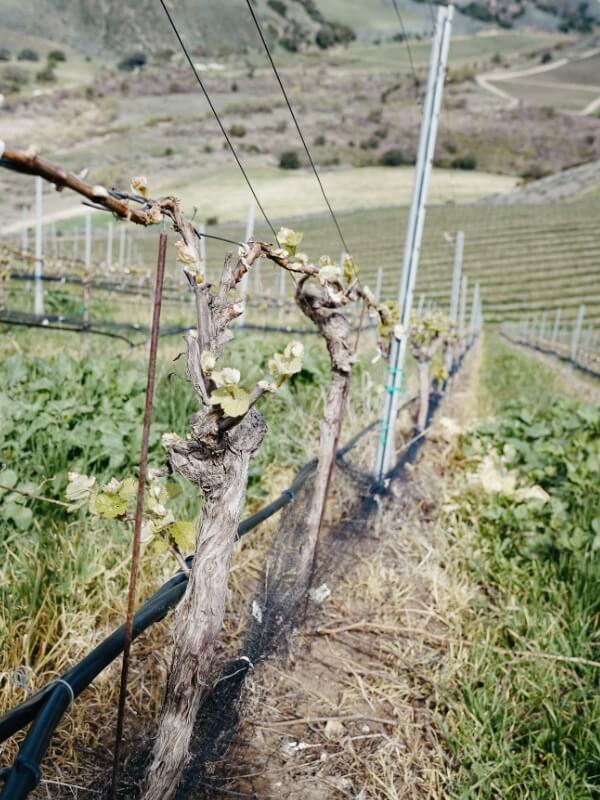 Bien Nacido Vineyard | Block No. 11D3